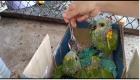 Filhotes de papagaio que caíram de ninho e tucano atropelado são resgatados