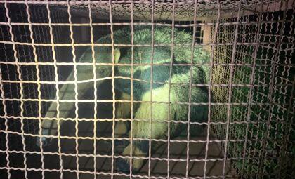Tamanduá-bandeira refugiado em depósito de sítio é capturado