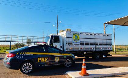 Caminhão que transportava cavalos tinha maconha escondida em fundo falso